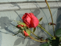 Deecember Rose